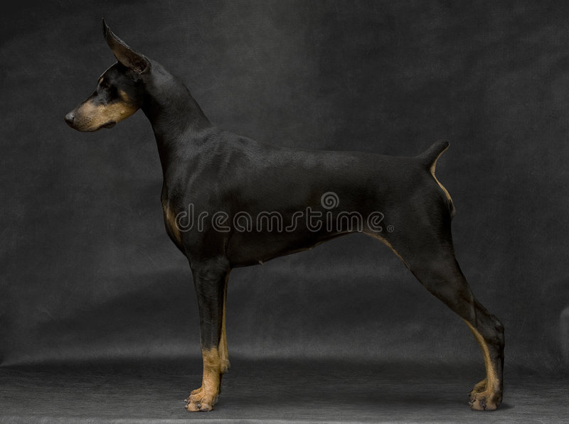 Dobermann stockfotografie