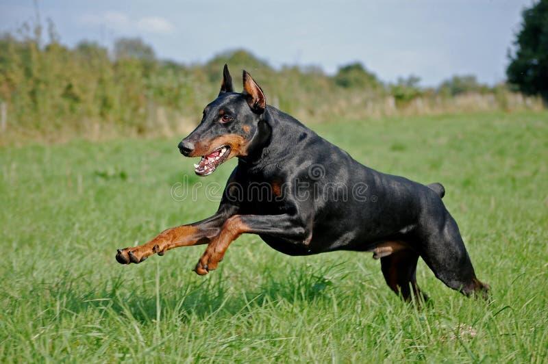 Download Dobermann stock photo. Image of savage, jump, green, black - 8443946