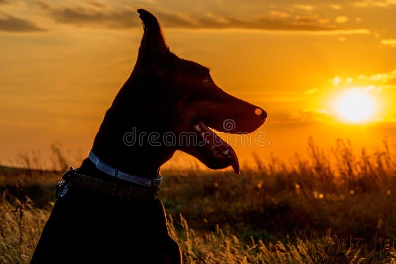 Dobermann au coucher du soleil images libres de droits