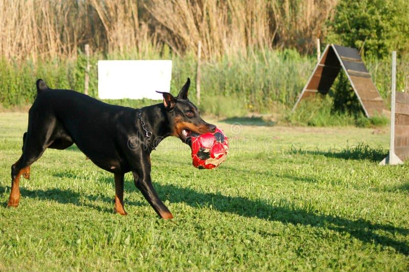 Dobermann bieg z piłką zdjęcie royalty free