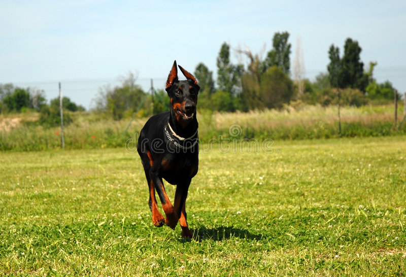 Dobermann courant images stock