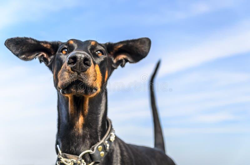 Dobermann in de wind stock afbeeldingen