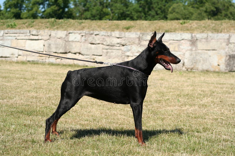 Download Dobermann Devvu stock photo. Image of saaremaa, hund, doberman - 1415422
