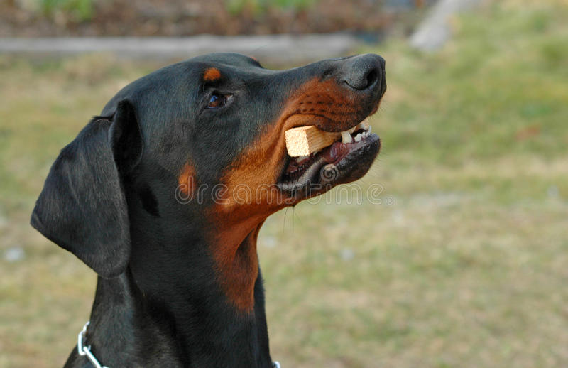 Dobermann fetching stock photography