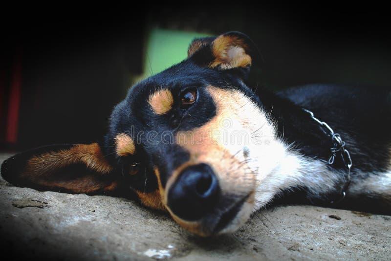 Dobermann hund arkivfoto