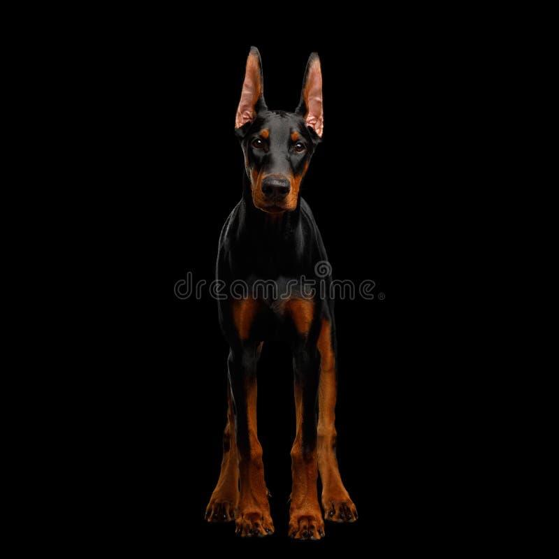 Dobermann-Hund mit den catting Ohren auf lokalisiertem schwarzem Hintergrund lizenzfreie stockfotos
