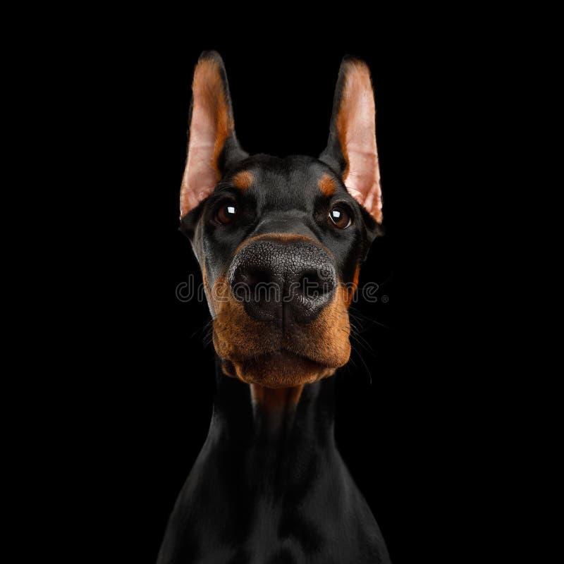Dobermann-Hund mit den catting Ohren auf lokalisiertem schwarzem Hintergrund stockbild