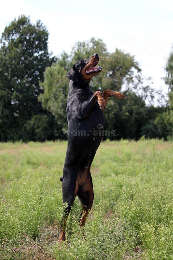 Dobermann noir et brun dans la nature photo libre de droits
