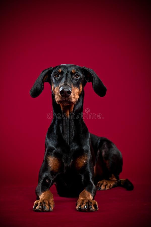 Dobermann som ligger på röd bakgrund fotografering för bildbyråer