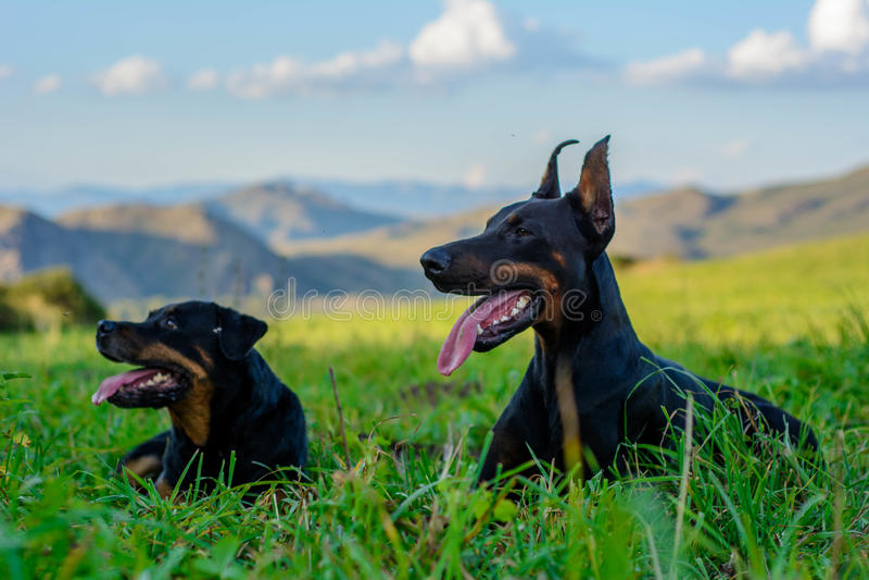 Dobermann und Rottweiler stockbilder