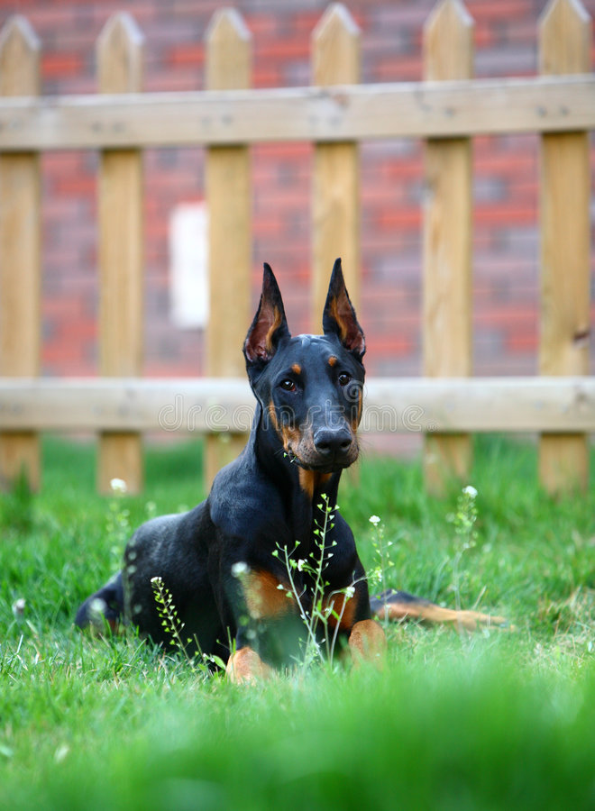 Dobermannhund lizenzfreie stockfotos