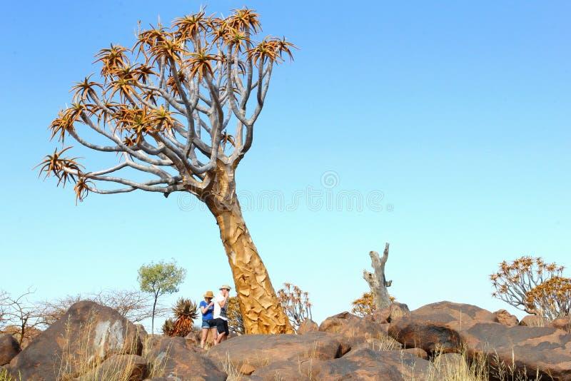 Dobiera się kołczanu Kalahari drzewną pustynię, Keetmanshoop, Namibia obraz royalty free