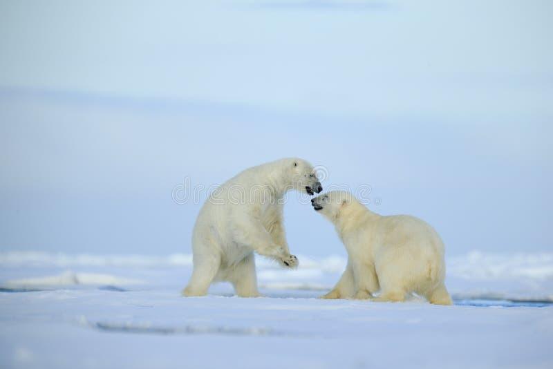 Dobiera się niedźwiedzi polarnych walczy na dryftowym lodzie z śniegiem i niebieskim niebie w Arktycznym Svalbard zdjęcia royalty free