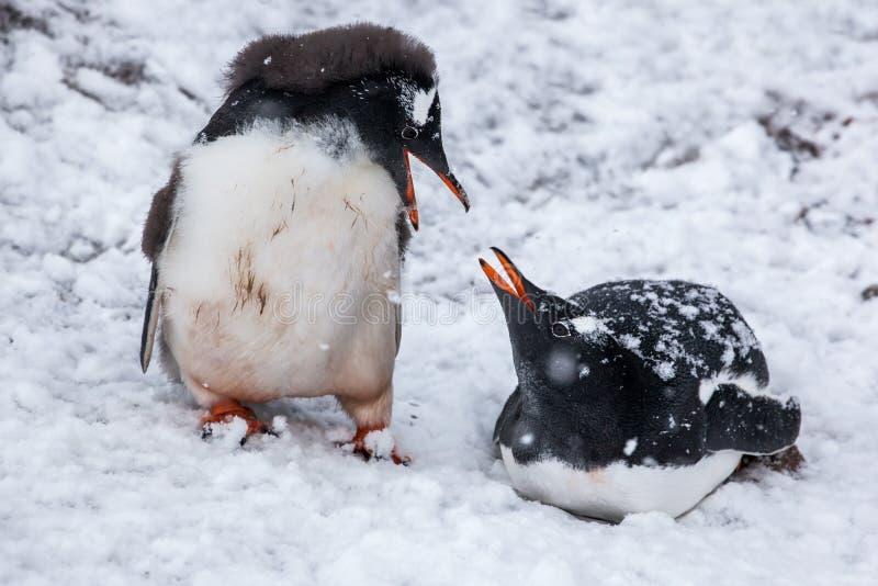 Dobiera się pingwiny opowiada na tle śnieżne równiny Antarctica zdjęcie royalty free