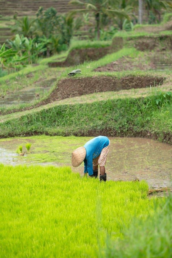 Doblado abajo, un hombre en un sombrero trenzado recoge lanzamientos del arroz en el campo imagenes de archivo