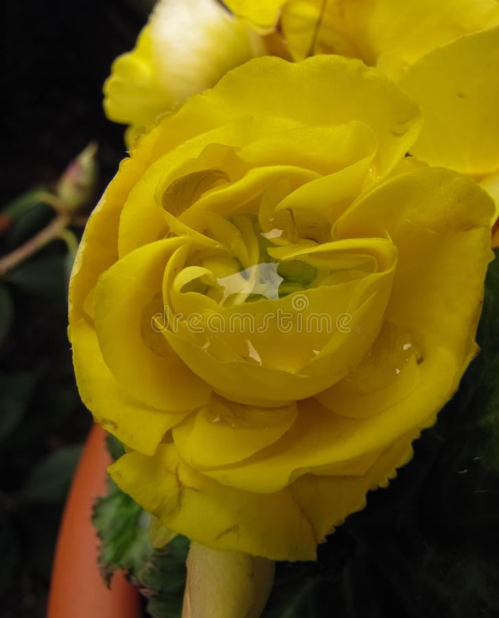 Doble amarillo Impatien con el centro 2 de la gotita de la lluvia foto de archivo libre de regalías
