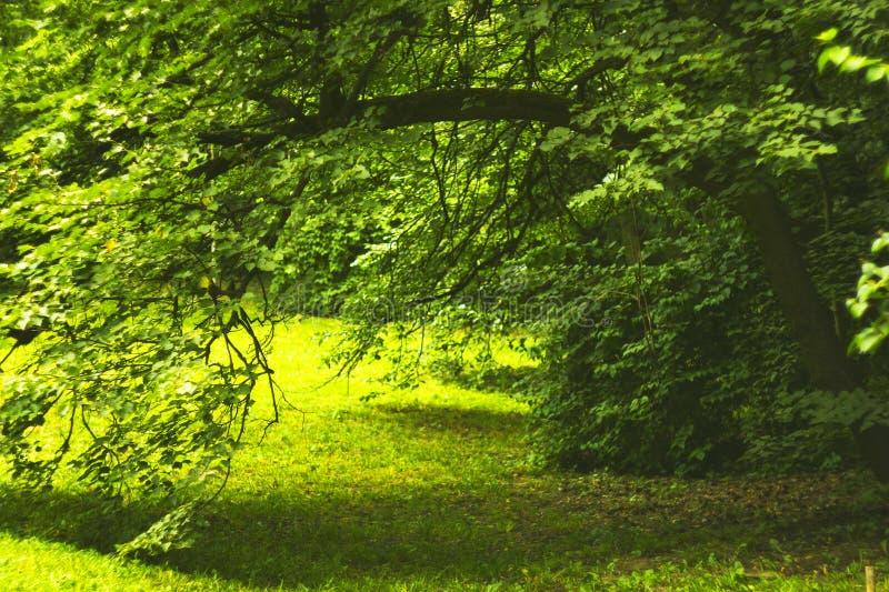Doble la rama de árbol en arco hecho bosque del verano - pase al claro imagen de archivo libre de regalías