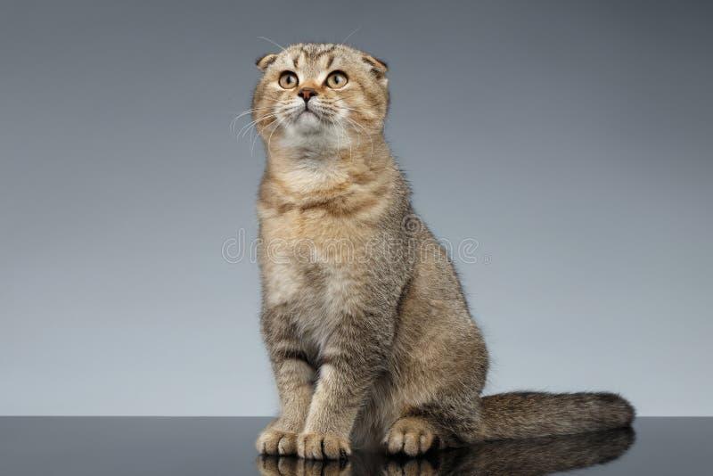 Doblez Cat Sits del escocés en Gray Mirror fotos de archivo