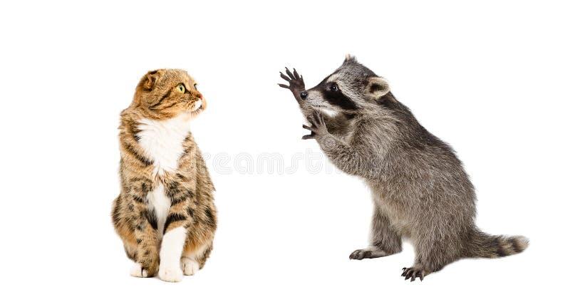 Doblez escocés divertido del mapache y del gato fotografía de archivo libre de regalías