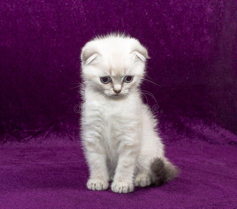 Dobra branca do Scottish do gatinho fotografia de stock royalty free