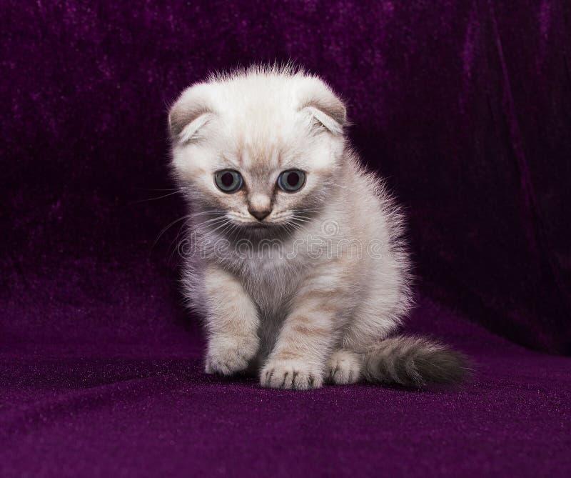 Dobra branca do Scottish do gatinho foto de stock