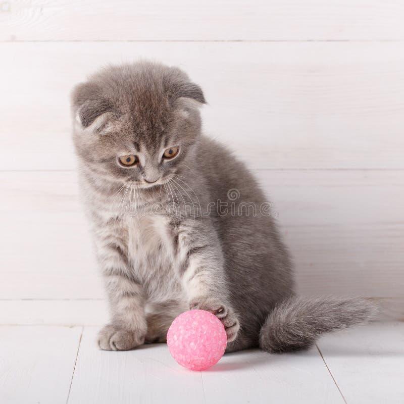 A dobra listrada cinzenta do Scottish do gatinho é jogada com uma bola cor-de-rosa, olha-a fotos de stock