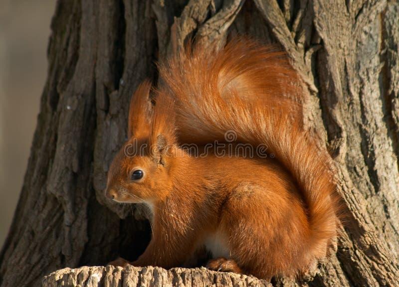 dobra wiewiórka fotografia stock