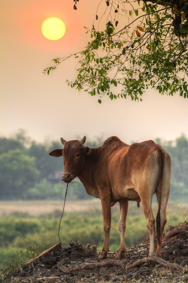 Dobrego wieczór krowa! zdjęcie royalty free