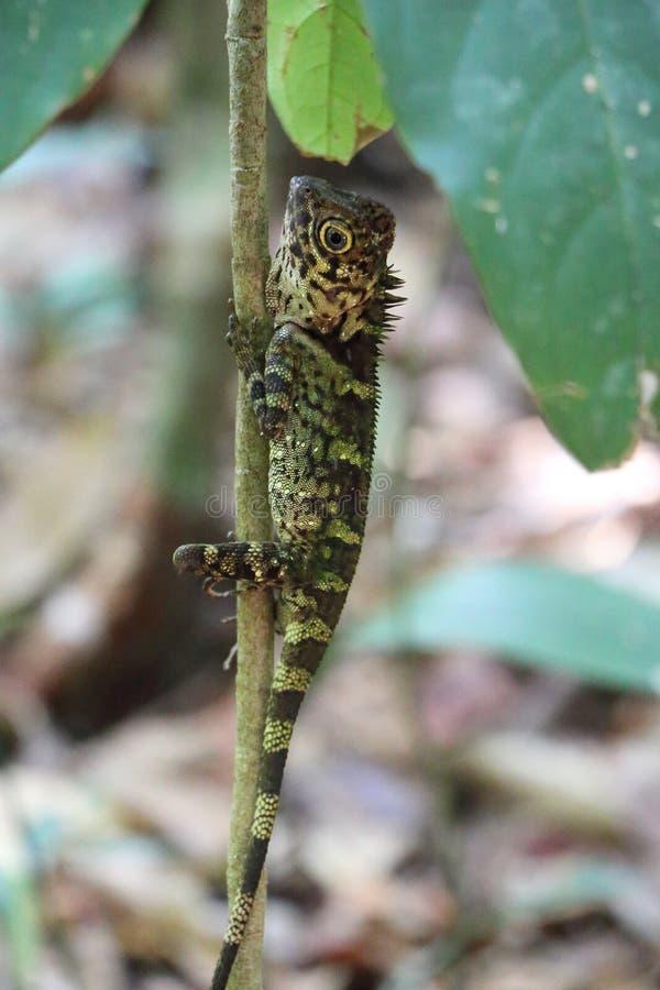 Dobrze camouflaged niebieskie oko przewodząca jaszczurka zdjęcie stock