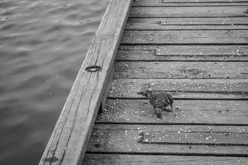 Dobrze feeded wróbli ptak w czarny i biały obrazy stock