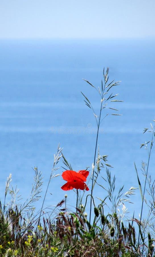 Dobrzy czerwoni piękni kwiaty makowi zdjęcia royalty free