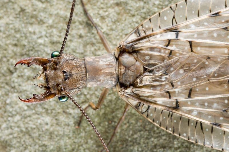 dobsonfly стоковые изображения rf