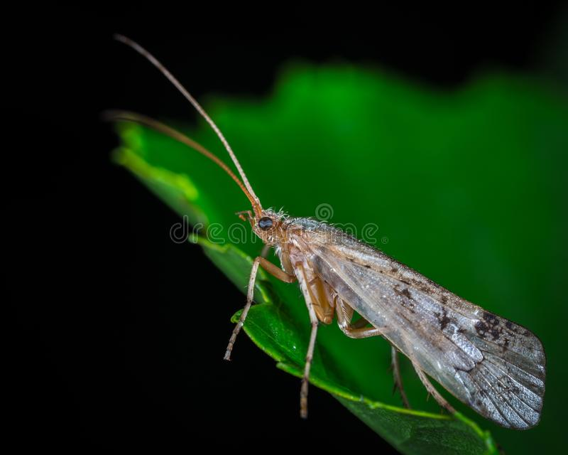 Dobsonfly on Green Leaf in Macro Photography stock images