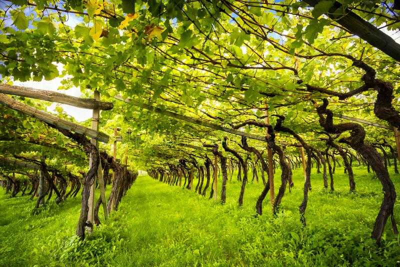 Doc. supérieur classique Kalterersee de vignoble de Caldaro de lac, près de lac Caldaro Bolzano l'Italie photographie stock
