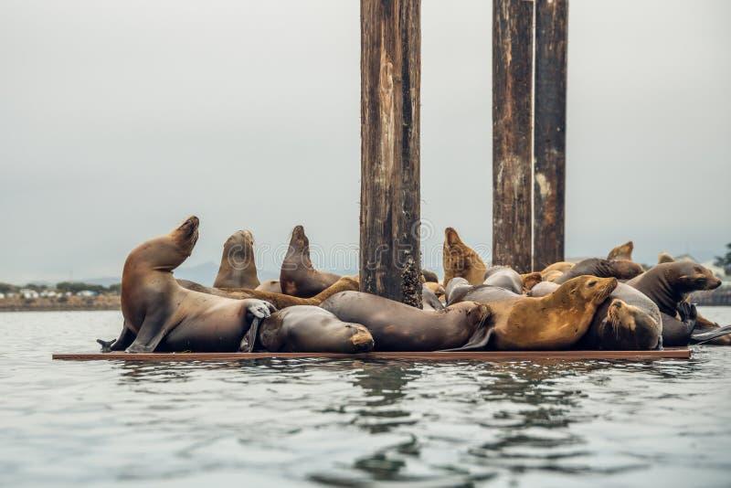 Doca de flutuação com leões de mar Colônia de selo, Califórnia imagens de stock royalty free