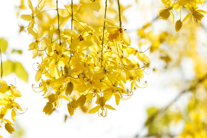 Doccia dorata (cassia fistula), bello fiore immagini stock libere da diritti