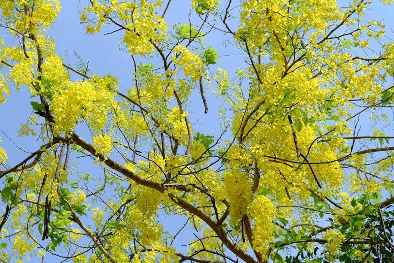 Doccia dorata che fiorisce nell'ora legale immagine stock