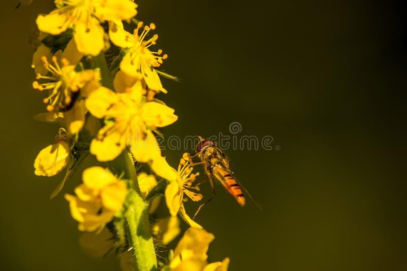 Doce de fruta hoverfly na flor comum do agrimony foto de stock