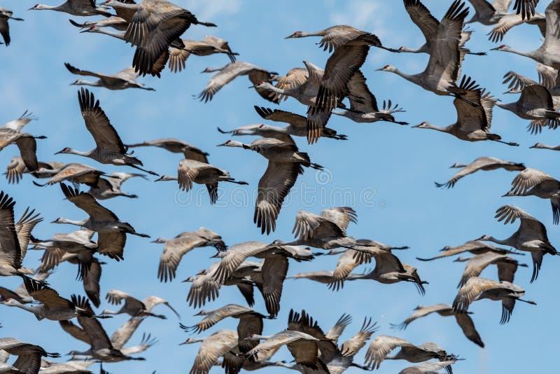 Docenas de grúas del sandhill en vuelo en la oscuridad imagenes de archivo