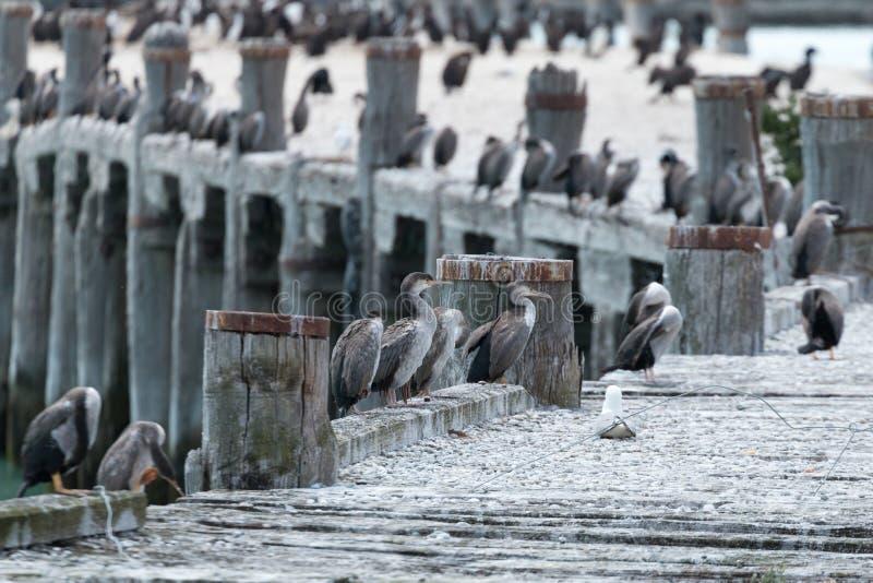 Docenas de pájaros de mar que se sientan en un embarcadero averiado en Oamaru, en la isla del sur del ` s de Nueva Zelanda fotos de archivo libres de regalías
