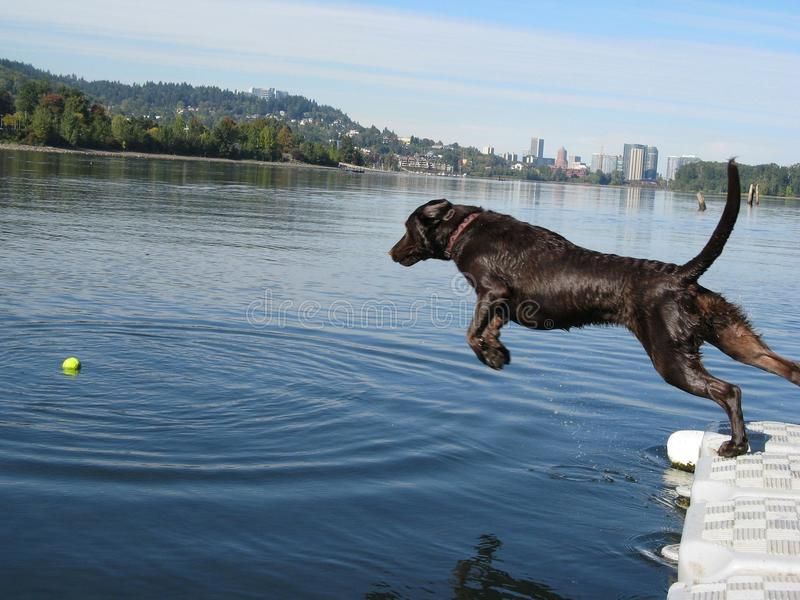 Dock Dog. Chocolate Lab dog jumping off of dock into the willamette river, city of portland skyline in background royalty free stock images