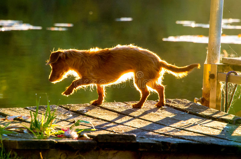 Dock Dog. Small red dachshund dog stands on dock on lake with sunlight and lily pads royalty free stock images