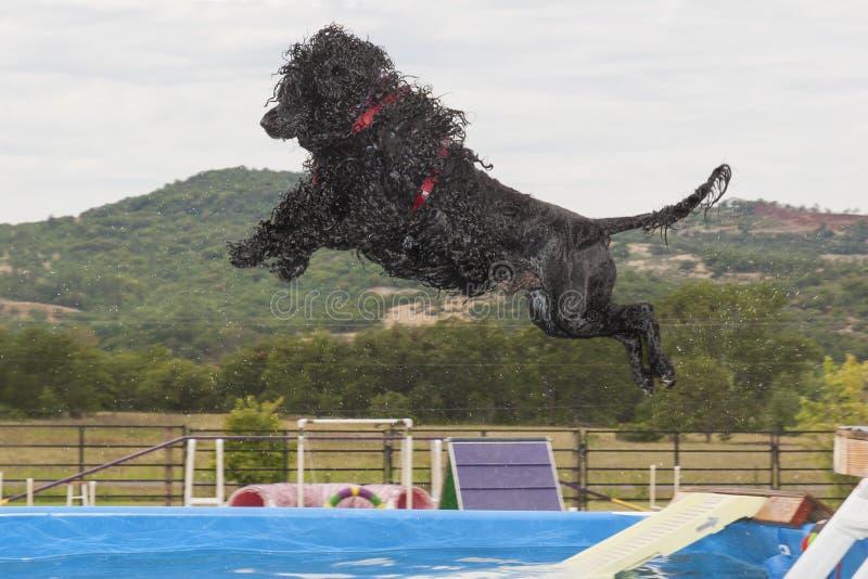 Dock-tauchender portugiesischer Wasser-Hund lizenzfreie stockbilder