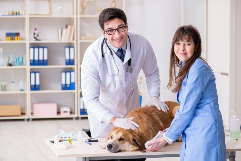 Docteur et assistant vérifiant vers le haut du chien de golden retriever dans le vétérinaire cli photographie stock