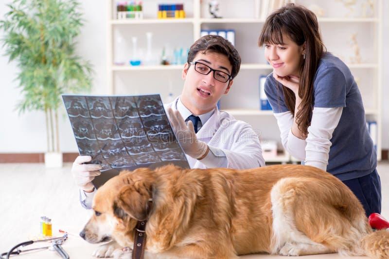 Docteur et assistant vérifiant vers le haut du chien de golden retriever dans le vétérinaire cli images stock