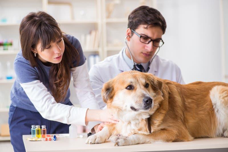 Docteur et assistant vérifiant vers le haut du chien de golden retriever dans le vétérinaire cli photographie stock libre de droits
