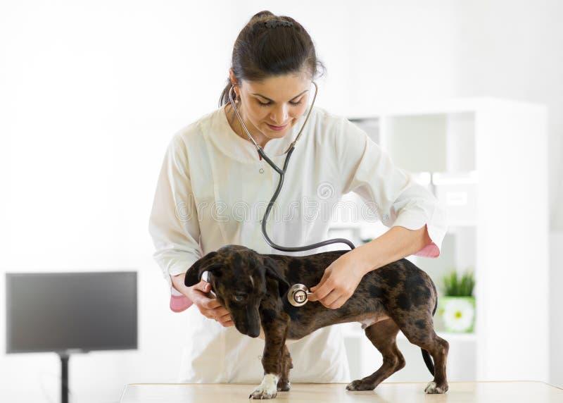 Docteur et chien vétérinaires à l'ambulance de vétérinaire photographie stock libre de droits