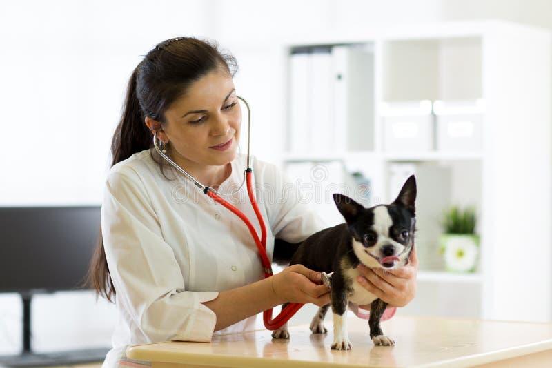 Docteur et chien vétérinaires de chiwawa à l'ambulance de vétérinaire images libres de droits