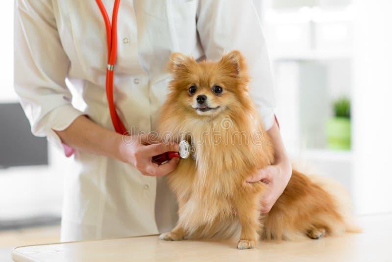 Docteur vétérinaire à l'aide du stéthoscope au cours de l'examen dans la clinique vétérinaire Spitz pomeranian de chien dans la c photographie stock libre de droits
