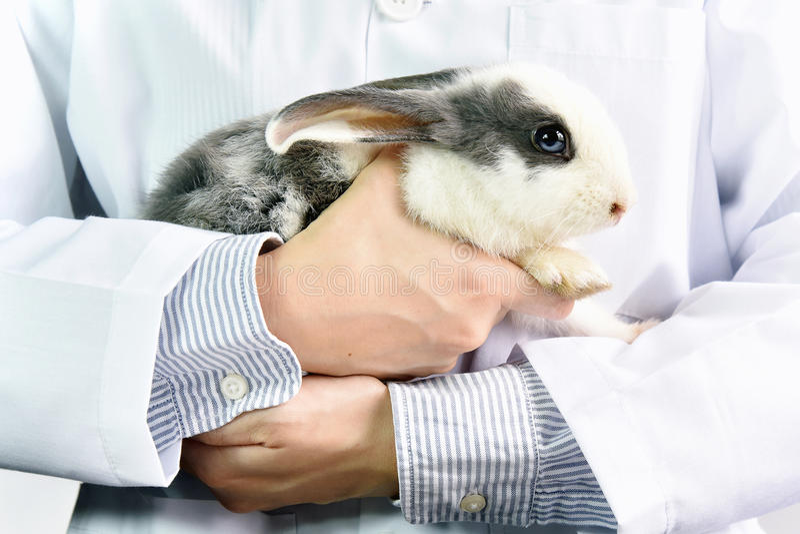Doctor del conejo y del veterinario en el trabajo en clini del veterinario imagen de archivo